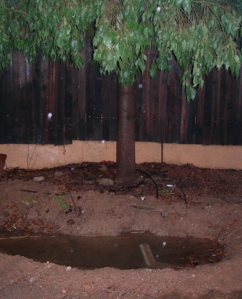 Rain water collected with gutters and downspouts gives this tree a good drink after a summer rain.